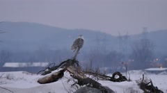 4K UHD - Snowy Owl (Bubo Scandiacus) perched and turning its head to look around Stock Footage