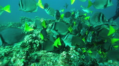 School of Razor surgeonfish swimming in ocean - stock footage