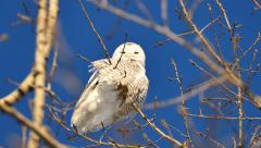 4K UHD - Snowy Owl (Bubo Scandiacus) perched and looking towards camera Stock Footage