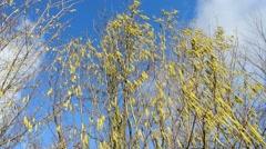 Hazelnut blossom in springtime Stock Footage