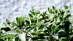 Sage bush and tea Stock Footage