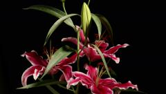 Asiatic Lily Flower Time-lapse Stock Footage