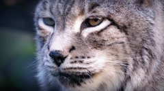 Big Cat Lynx In The Wild Stock Footage