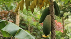 Papaya Tree in Jungle Landscape on the Island of Pohnpei Stock Footage