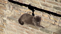 Homeless cats of the shelter Largo di Torre Argentina. Rome Stock Footage