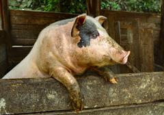 Stock Photo of Pig in the pen, standing on his hind legs, close-up.