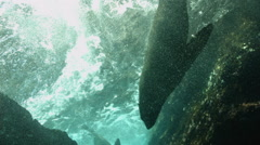 Fur seal swimming in ocean Stock Footage