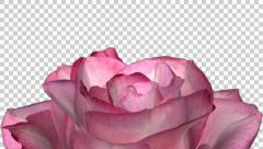 Rose Bloom - Pink - Down Transition - Alpha Channel - 30 fps Stock Footage