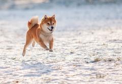 Jumped dog shiba inu on snow - stock photo