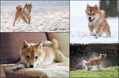Collage of Shiba Inu dog in action Stock Photos