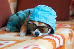 Sad shiba inu dog with blue jacket, hood and glasses Stock Photos