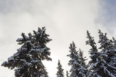 Pine trees covered by snow Stock Photos