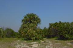 Florida oranges ripen in citrus grove Stock Footage