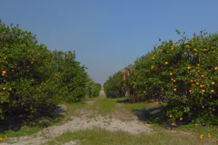 Stock Video Footage of Drive by Florida oranges ripen in grove