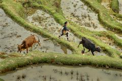 Asian girl 10 years old, herding cows in mountains China. Stock Photos