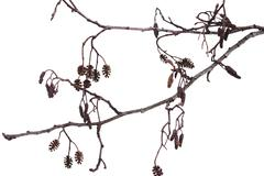 Winter alder branch on a white background - stock photo