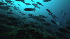 School of Galapagos damsels swimming in ocean Stock Footage