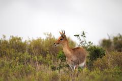 Waterbuck (Kobus ellipsiprymnus) Stock Photos