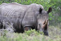 Square-lipped Rhinoceros (Ceratotherium simum) - stock photo