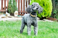 black poodle with diseased eyes outdoors on the garden - stock photo