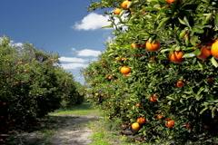 Orange grove on sunny, breezy day - stock footage