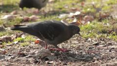Pigeon walking in the park and pecking crumbs. Bird close up. Tracking shot. Stock Footage
