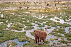 Llamas in the mountains near Paso de Jama, Argentina-Chile Stock Photos