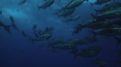 School of big-eye jacks swimming in sea Stock Footage