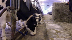In the barn man unwinds a ball of hay for feeding cows Stock Footage