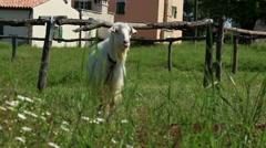 Shy goat Stock Footage