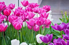 Pink, purple and white tulips on the flowerbed - stock photo