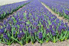 Field of blue hyacinth - stock photo