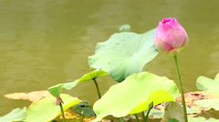 Lotus (water lily) flower with rain globs in gentle breez, HD 1080P Stock Footage