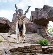 Markhor is  large species of wild goat in the Moscow zoo - stock photo