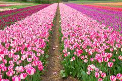 Rows of dutch tulips Stock Photos