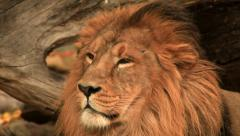 Adorable head of dreaming golden lion, lying on fallen tree wood background. Stock Footage