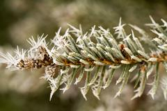 Stock Photo of rime, hoarfrost on a pine branch