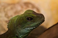Head and eye of an adult agama (Physignathus cocincinu) Stock Photos