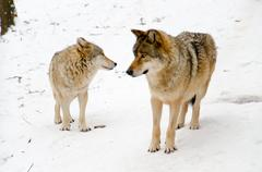 Two wolves Stock Photos