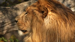 Play of subtle branch shadow on head in profile of shaggy lion close up - stock footage