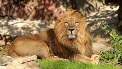 Drowsy Asian lion, full-length view, lying on shadow grid background Stock Footage