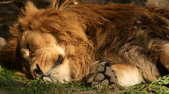 Stock Video Footage of Play of branch shadow with sleeping shaggy lion with mighty paw close up.