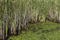 Lily pads and cattails in the bog - stock photo