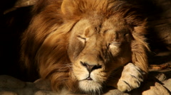 Adorable sunlit face of sleeping shaggy lion close up - stock footage