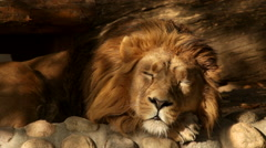 Adorable unstable head of dreaming lion on fallen tree and boulder background. Stock Footage