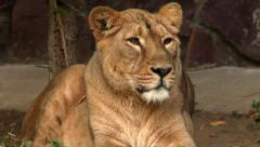 Adorable face of weariful lioness in evening soft light Stock Footage