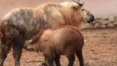 Amazing takin female, Budorcas taxicolor, wean her baby away from suckling. Stock Footage