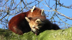 Red Panda mother & baby in a tree Stock Footage