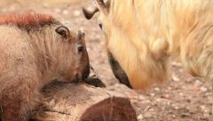 Takin baby, Budorcas taxicolor, licking eye of his father. Golden goat antelope Stock Footage