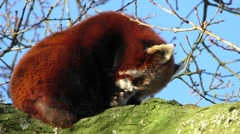 Red Panda female licking it's paw Stock Footage
